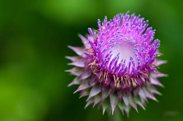 indiana-purple-thistle-flower-melissa-breeland